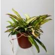 Hoya Wayetii Tricolor