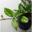 Hoya carnosa Dark Pink