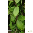 Hoya carnosa Oval