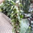 Hoya carnosa Pink