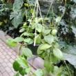 Hoya diptera
