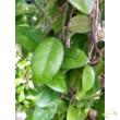Hoya hybrid of fungii