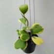 Hoya kerrii albomarginata (1 töves)