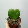 Hoya kerrii zöld