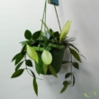 Hoya memoria (Hoya gracilis)