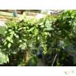 Hoya memoria gracilis