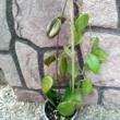 Hoya verticillata