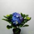 Hydrangea Ningbo kék  Hortenzia