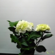 Hydrangea Schneeball fehér  Hortenzia