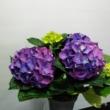 Hydrangea lila  Hortenzia