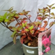 Hydrangea paniculata Diamond Rouge  Hortenzia
