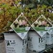 Hydrangea paniculata Pinkachu  Hortenzia