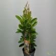 Mandevilla amabilis Sundaville Apricot
