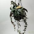 Parthenocissus amazonica (Jungle Vine)