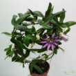 Passiflora Lavender Lady