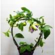 Passiflora Marijke