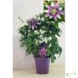 Passiflora Clara
