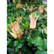 Golgotavirág - passiflora aurantia
