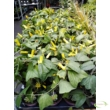 Golgotavirág - passiflora citrina