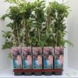 Rózsaszínű akác / wisteria sinensis rosea