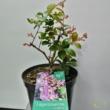 Lagerstroemia indica lila