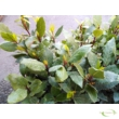 Laurus nobilis / Nemes babér