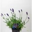 Lavandula angustifolia Spear Blue