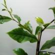 Magnolia Cream