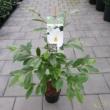 Magnolia Michelia Fairy Magnolia Cream / Krémszínű Liliomfa