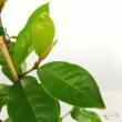 Magnolia Michelia Fairy Magnolia Cream