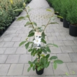 Magnolia Michelia Fairy Magnolia White / Fehér Liliomfa