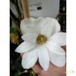 Magnolia Michelia Fairy Magnolia White
