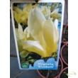 Magnolia x brooklynensis Elizabeth / Sárga liliomfa