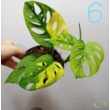 Monstera Adansonii variegata Aurea