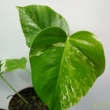Monstera deliciosa variegata (07)