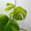 Monstera deliciosa variegata (02)