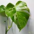 Monstera deliciosa variegata (09)