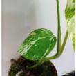 Monstera deliciosa variegata (16)