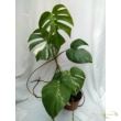 Monstera deliciosa variegata (10)