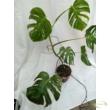 Monstera deliciosa variegata (20)