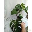 Monstera deliciosa variegata (04)