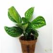 Monstera sp. Peru karstenianum