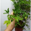 Myrciaria cauliflora