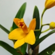 Cattleya Golden Boy
