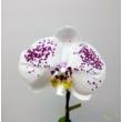 Phalaenopsis singolo pöttyös