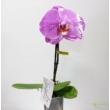 Phalaenopsis singolo lila fehér