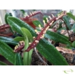 Bulbophyllum falcatum Orchidea
