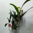 Cattleya mix levirágzó