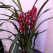Cymbidium / Csónakorchidea