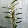 Dendrobium fehér